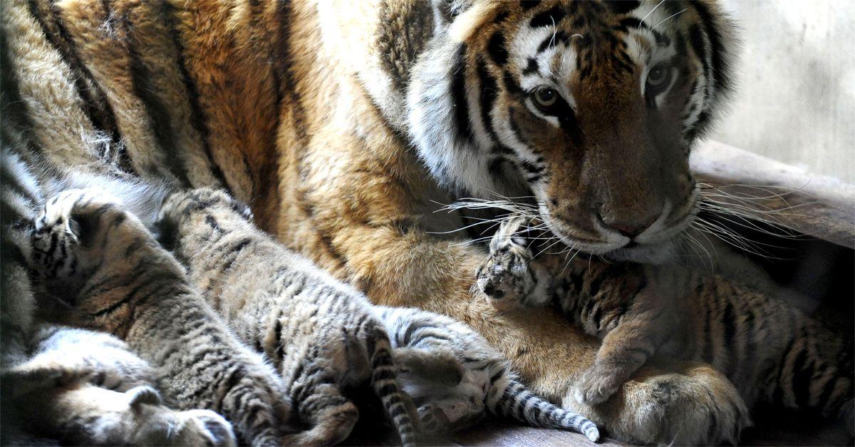 Mamma tigre e suoi cinque cuccioli a rischio estinzione