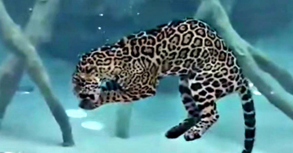 Credevate che i felini odiassero l'acqua? Questo giaguaro vi farà cambiare idea