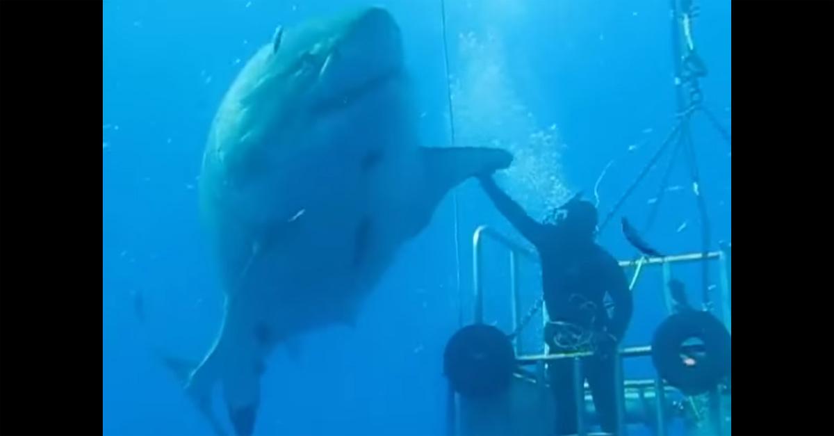 Messico, il sub non ha paura: affronta l'enorme squalo bianco