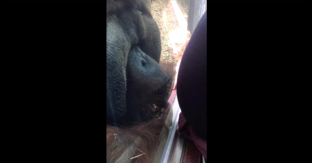 L'umanità dell'orangotango, bacia il pancione della visitatrice oltre il vetro
