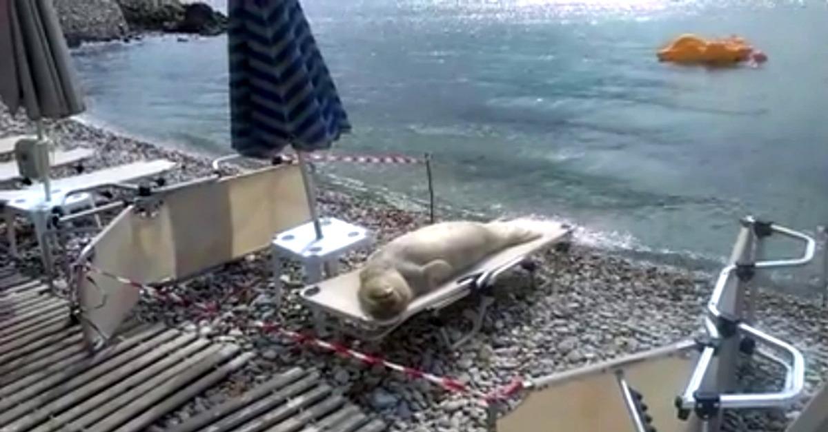 Spiaggia deserta, il leone marino prende il sole sul lettino (VIDEO)