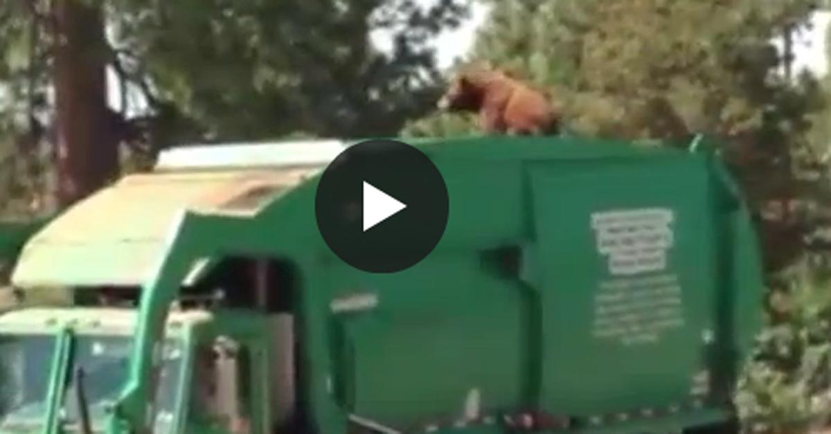 Usa, l'orso spazzino: il giro sul camion dei rifiuti