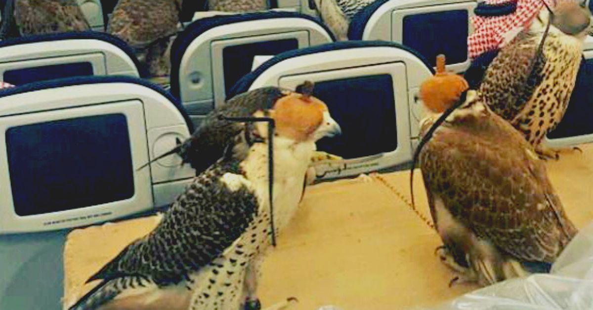 80 falchi sull'aereo: il principe saudita compra il biglietto ai suoi uccelli rapaci