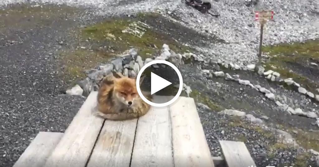 Un alpinista riprende una volpe che dorme: lei si mette in posa