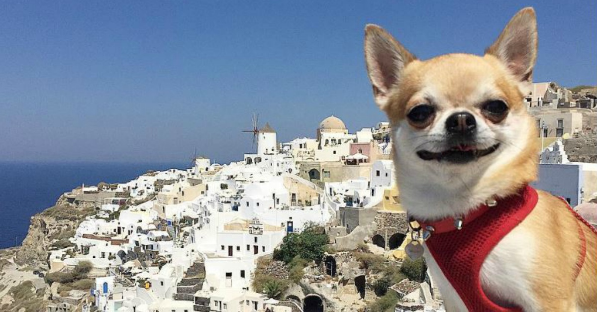 Miami, il chihuahua blogger di Riccione che gira il mondo è la nuova star di Instagram