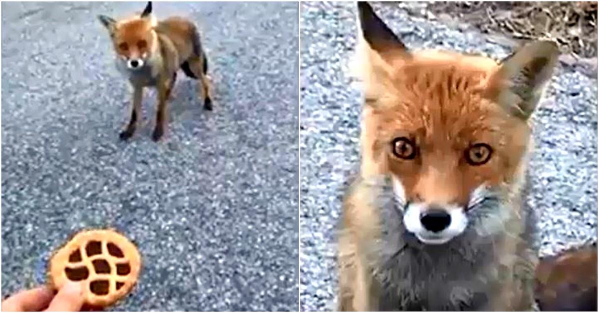 """""""Sei ferita? Se fai la brava ti do una merendina"""". L'incontro con la volpe sa di favola"""