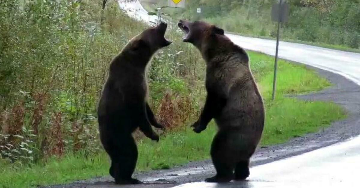 2 orsi grizzly combattono in mezzo alla strada e un lupo li osserva da lontano: il video