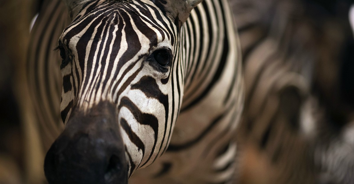 Una zebra a pois? In Kenya c'è una riserva naturale che ce l'ha: ecco le foto