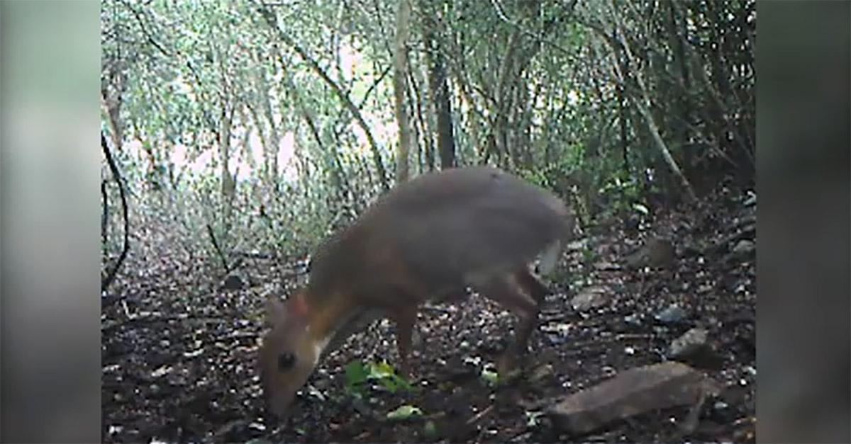 """Il """"cervo-topo"""" esiste: filmata per la prima volta in 30 anni la rara creatura che si credeva estinta"""