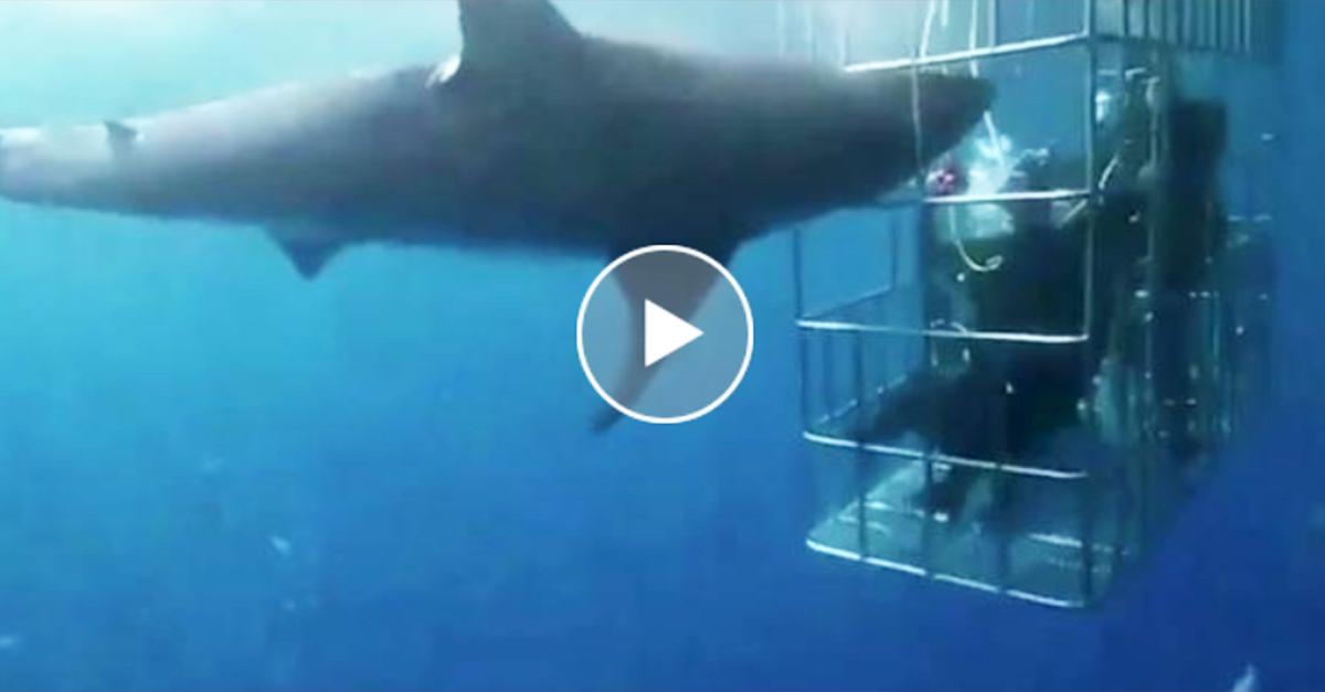 Paura nella gabbia dei sub: lo squalo attacca i turisti (VIDEO)