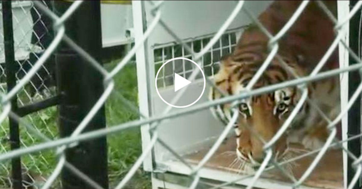 Una tigre viene salvata dal circo: ecco come si comporta quando esce dalla gabbia strettissima
