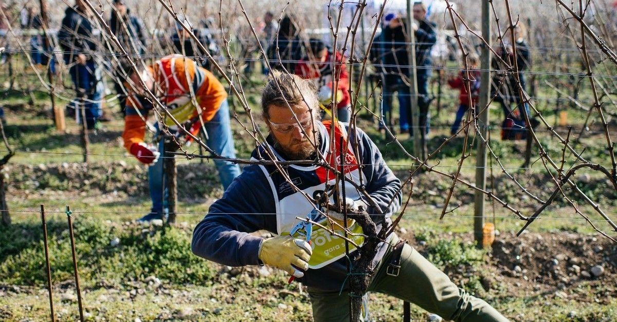 Non solo Sanremo, nel Chianti il Festival è dedicato alla potatura delle vigne