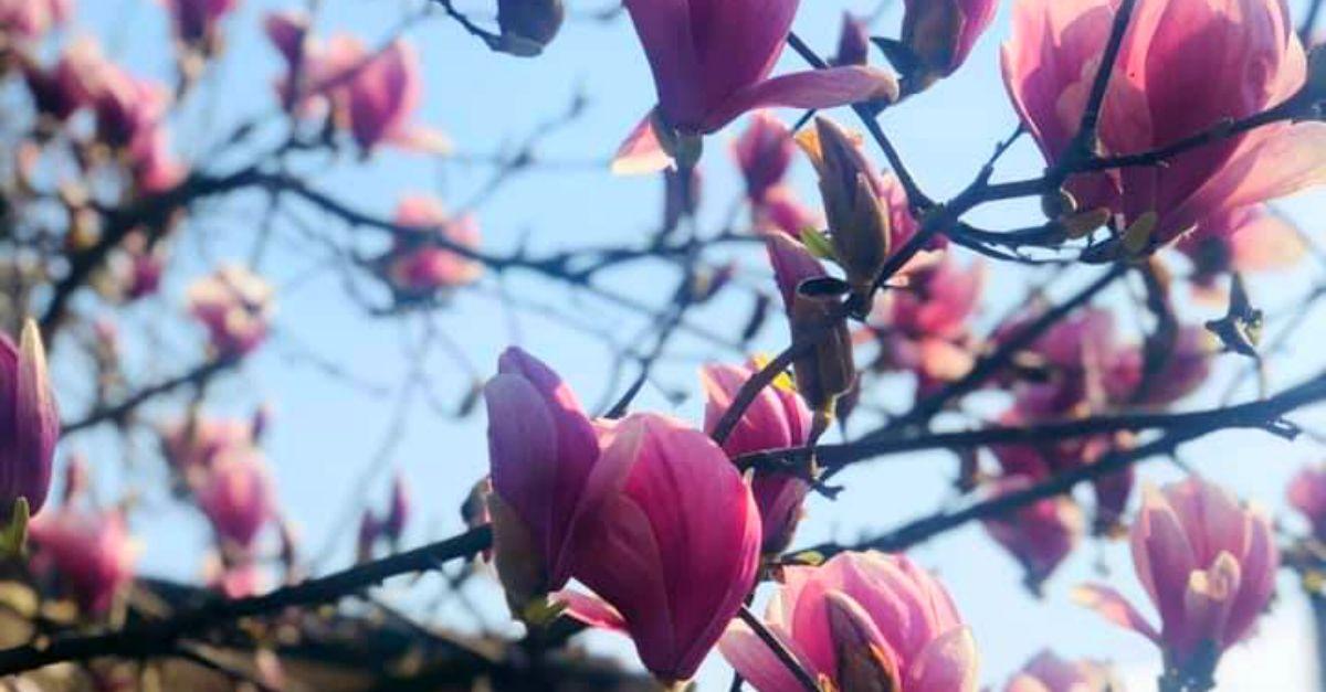 """""""La primavera non lo sapeva"""". Plagiata negli USA la poesia italiana contro il virus?"""