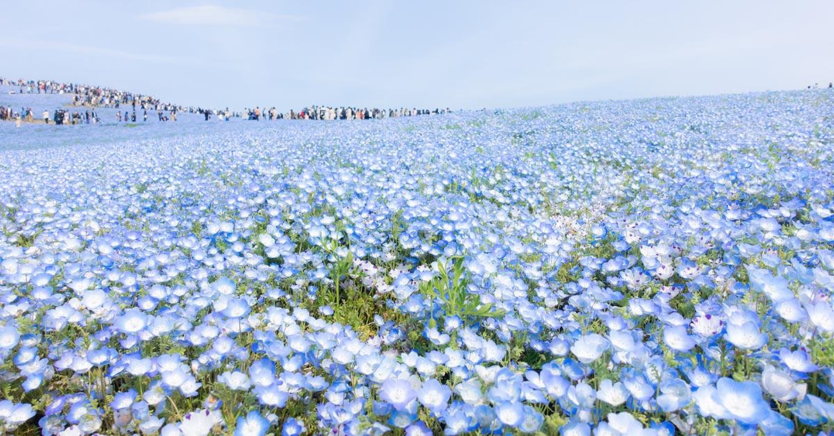 Giappone, i fiori sbocciano e si fondono con il cielo: lo spettacolo della Nemophila blu