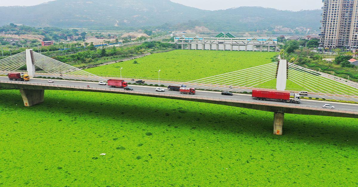 Cina, il fiume si colora di verde grazie alla fioritura di particolari piante acquatiche