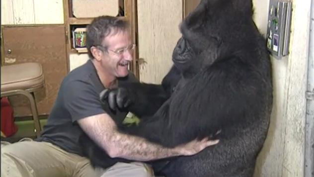 Koko piange per Robin Williams: la gorilla e l'attore