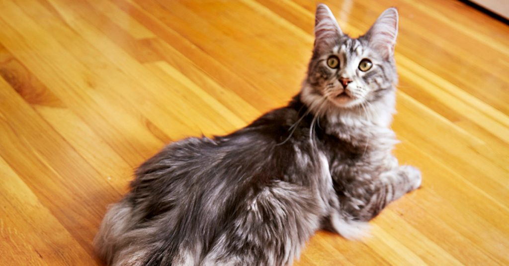 Il gatto con la coda pi lunga del mondo vi far for La coda del gatto