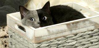 Bicolore, parigino, occhi azzurri e pelo corto: Narnia è un cucciolo ma già una star