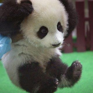 Malesia, il debutto del baby panda: nove chili di tenerezza