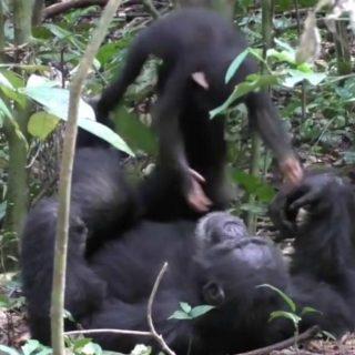 """Papà scimpanzé fa """"volare"""" il suo cucciolo"""