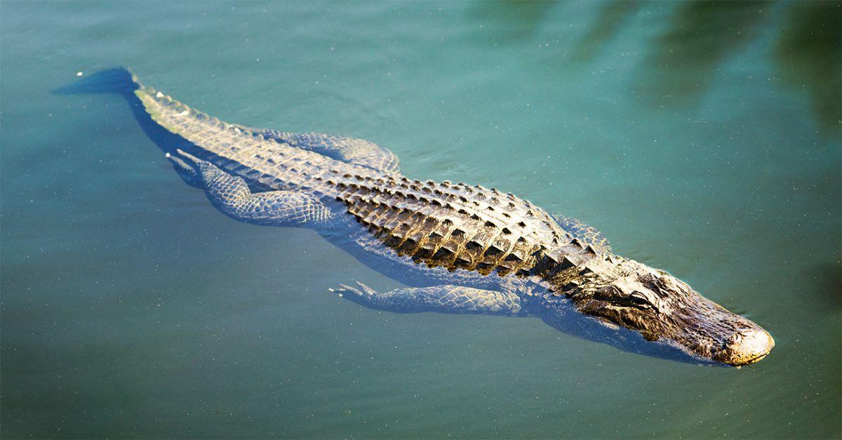 Roma, avvistato un coccodrillo nelle acque del Tevere