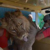 Il leone sale improvvisamente sull'auto dei turisti, ma è solo per un po' di coccole