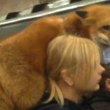 Mosca, la volpe viaggia in metro in spalla alla sua padrona
