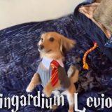 """Il cagnolino obbedisce agli incantesimi di Harry Potter: """"Wingardium Leviosa!"""" e lui si alza in piedi!"""