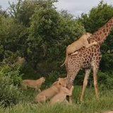 Sudafrica, la caccia impossibile di 5 leoni contro una giraffa