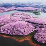 Cina, è primavera: la spettacolare fioritura dei ciliegi tinge di rosa il paesaggio
