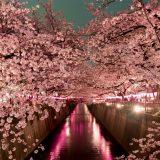 Ciliegi in fiore di notte, lo show della natura a Tokyo si chiama yozakura