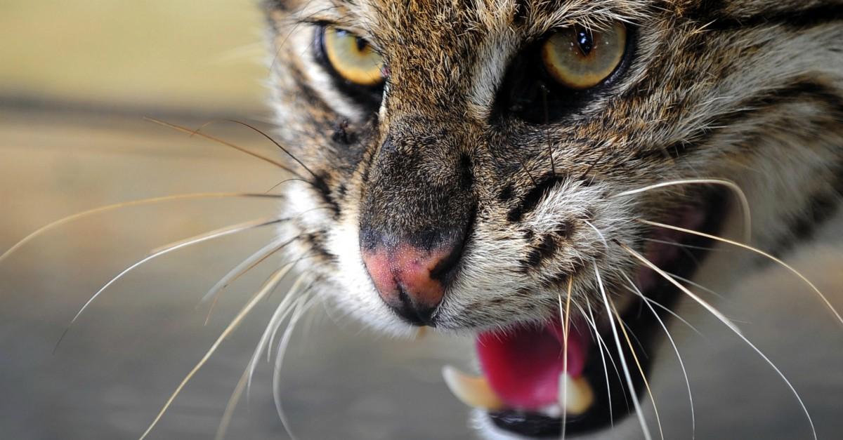 Australia Un Piano Per Sterminare Milioni Di Gatti Selvatici Con