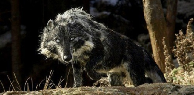 ILMIOLIBRO - Attenti al lupo! Dal Libro della Giungla a ...