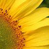 19sunflower88
