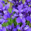 Iris P