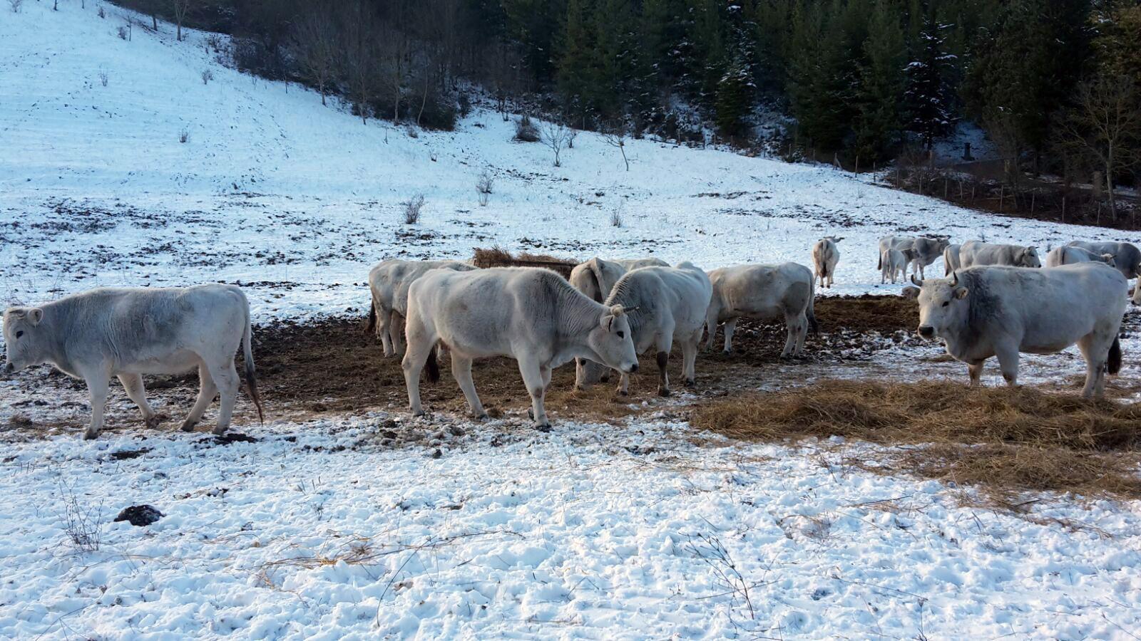 Terremoto: allevatori, mucche assiderate senza stalle