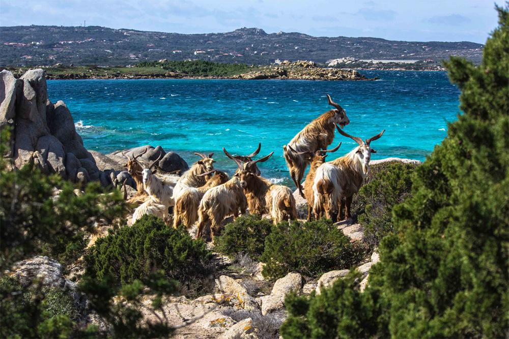 Le capre di Cala Serena (Caprera)