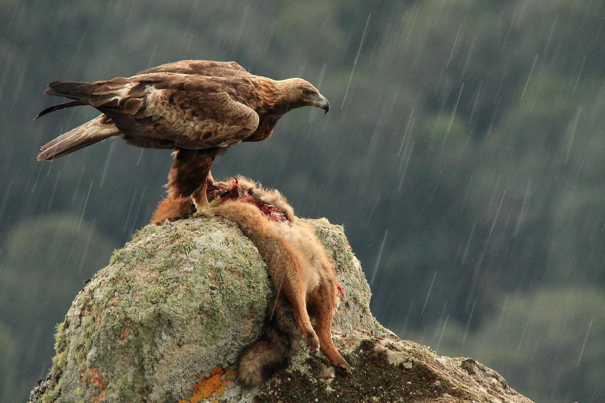Un'aquila reale sotto una tempesta di grandine