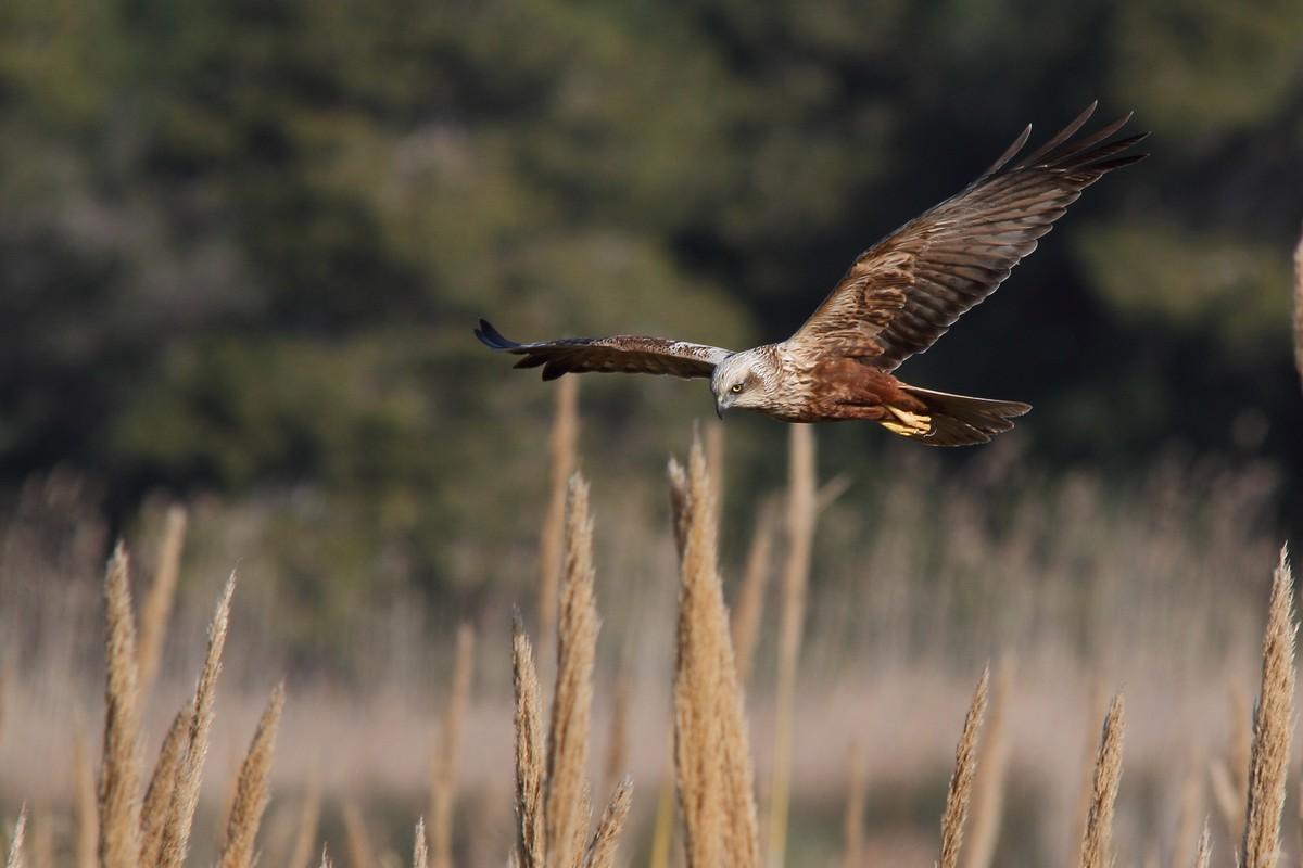 Un falco di palude