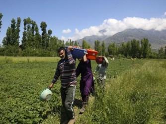 Braccianti al lavoro nei campi vicino a Sabaudia, molti hanno ricevuto ossicodone