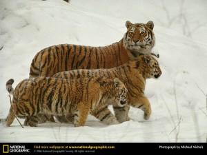 siberian-tigers-snow