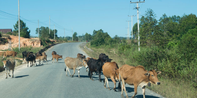 Cows Crossing Road By Trees Against Clear Sky