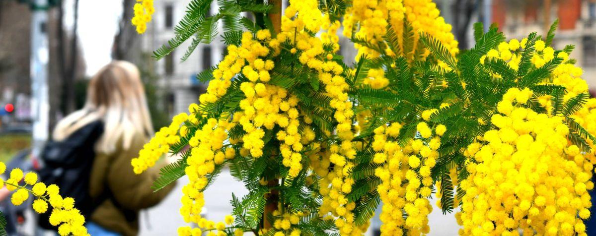 Mimose per l'8 marzo in vendita dai fiorai milanesi