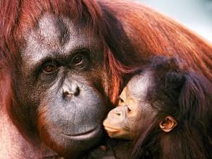 orango-di-Sumatra