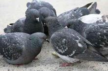 piccioniok