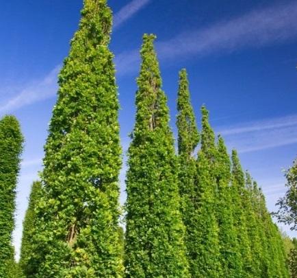 """Quercus-robur-""""Fastigiata-Koster"""""""