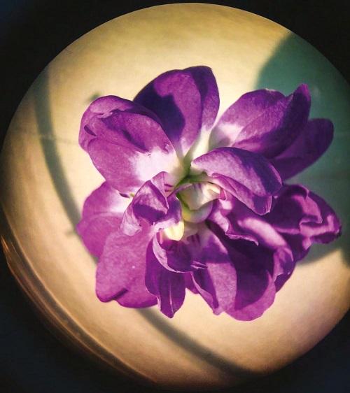 Fiore_Violetta di Parma