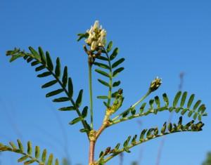 Astragalus_boeticus_35807_166938