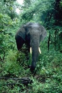 asian_elephant_1
