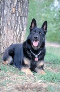 dogs-german-shepherd-alsatian-dog